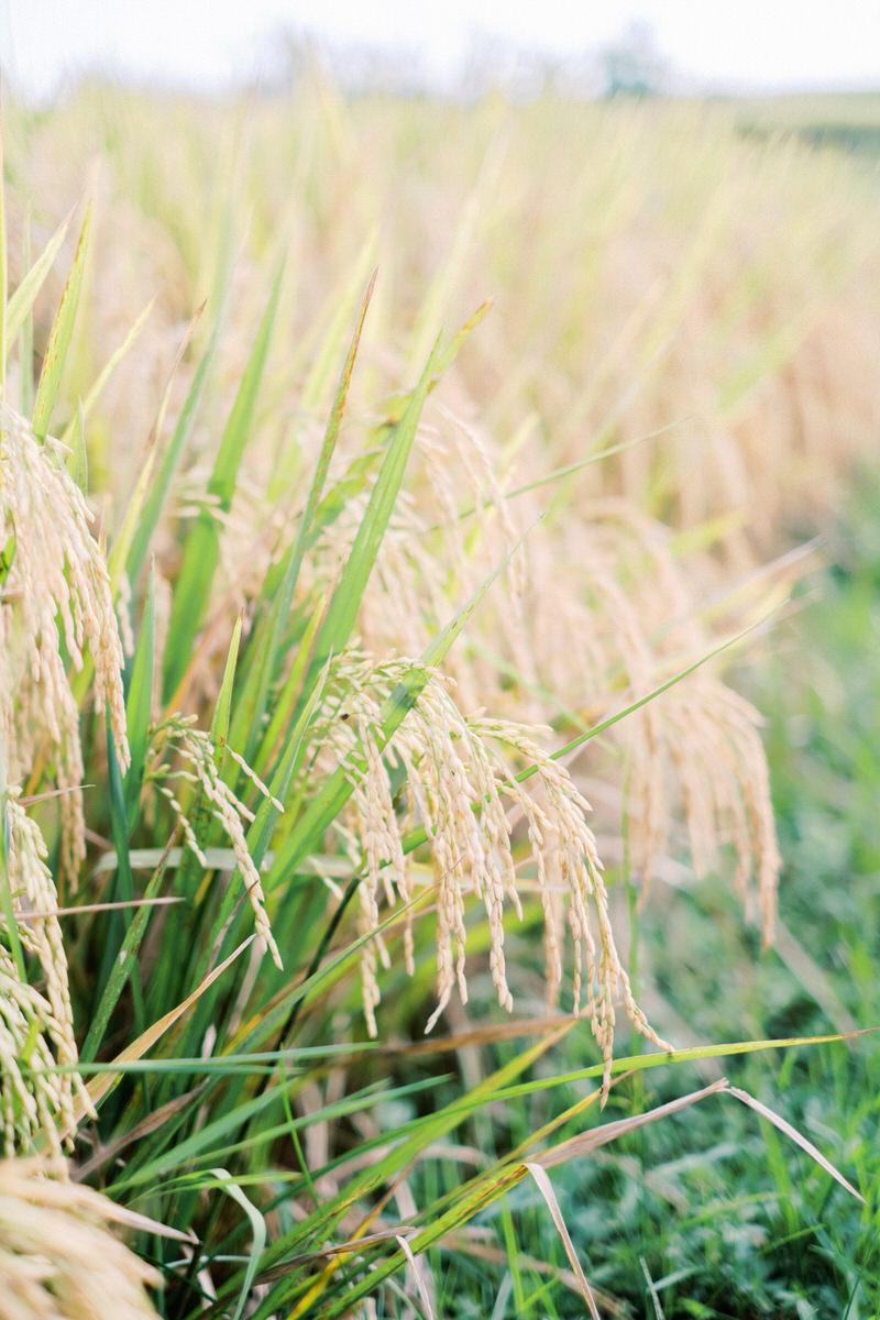 canggu rice fields photo spot